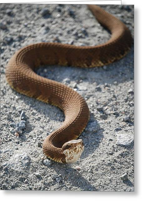 Yikes Greeting Cards - Cotton Mouth in the road Greeting Card by Kathy Gibbons