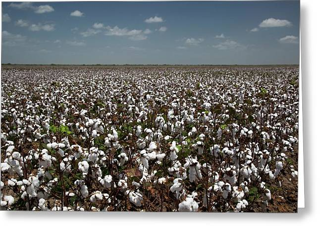 Cotton Plants Greeting Card by Jim West