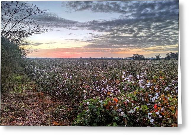 Coton Greeting Cards - Cotton Sunrise  Greeting Card by JC Findley