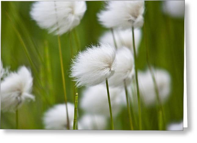 Heiko Koehrer-wagner Greeting Cards - Cottonsedge Greeting Card by Heiko Koehrer-Wagner