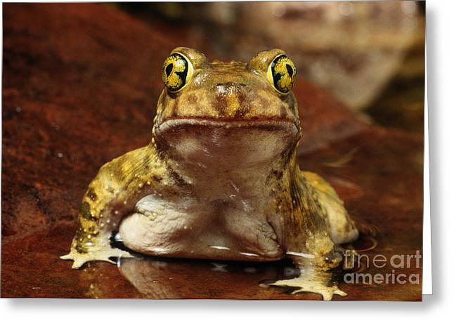 Anuran Greeting Cards - Couchs Spadefoot Toad Greeting Card by C K Lorenz