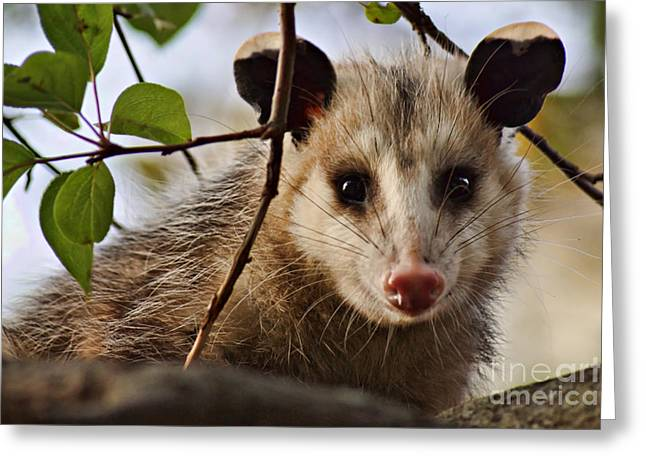 Possum Greeting Cards - Coucou - close-up Greeting Card by Nikolyn McDonald