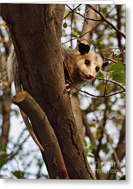 Possum Greeting Cards - Coucou Greeting Card by Nikolyn McDonald
