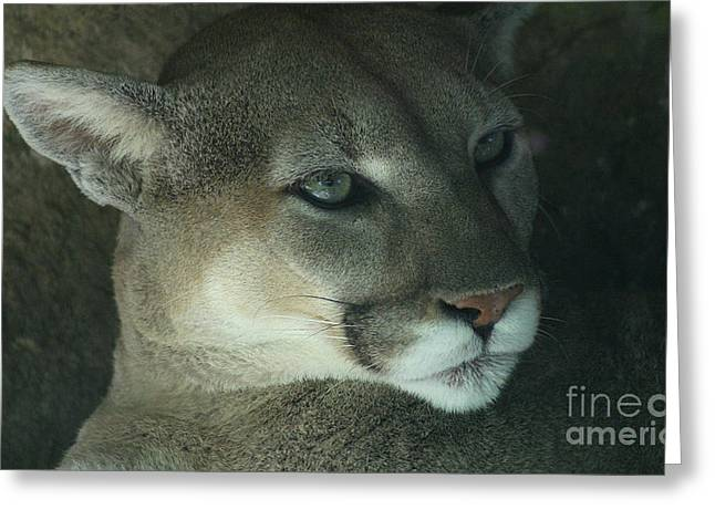 Gingrich Photo Greeting Cards - Cougar-7688 Greeting Card by Gary Gingrich Galleries