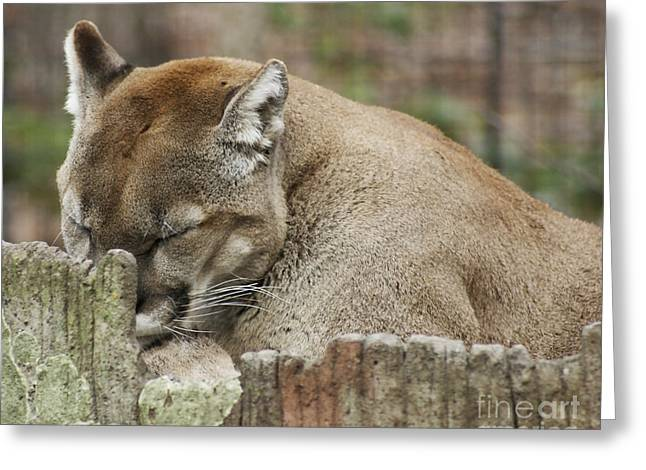 Puma Pictures Greeting Cards - Cougar Series Greeting Card by B Wayne Mullins