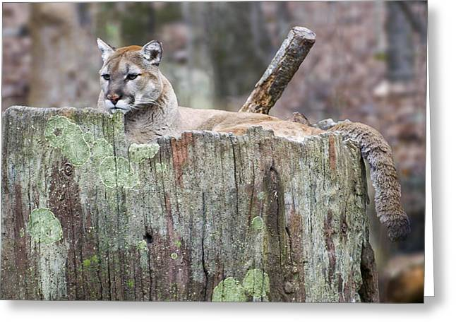 Puma Concolor Greeting Cards - Cougar on a stump Greeting Card by Chris Flees