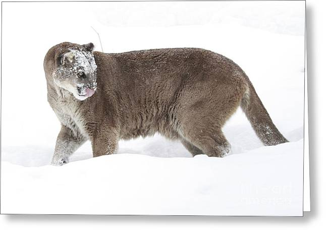 Cougar on a Winter Prowl Greeting Card by Inspired Nature Photography By Shelley Myke