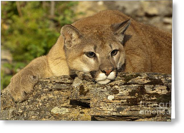 Out West Greeting Cards - Cougar on Lichen Rock Greeting Card by Sandra Bronstein
