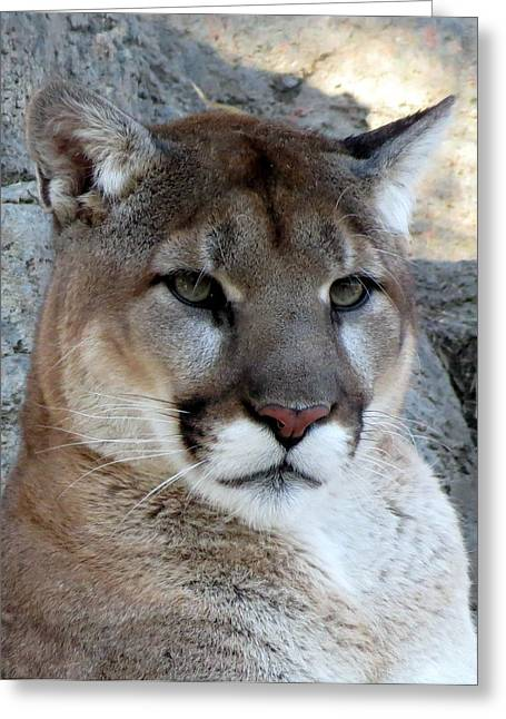 Neutral Colours Greeting Cards - Cougar Greeting Card by Ramona Johnston