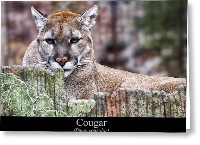 Puma Concolor Greeting Cards - Cougar resting on a tree stump Greeting Card by Chris Flees