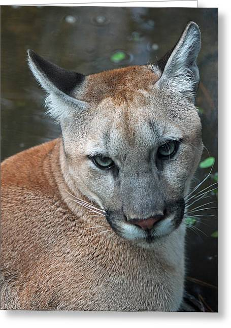 Cougar Series -  Just A Big Puddy Cat Greeting Card by Suzanne Gaff