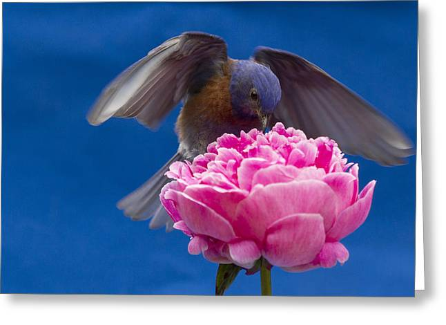 Count Bluebird Greeting Card by Jean Noren