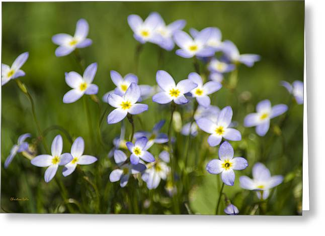 Tiny Bluet Greeting Cards - Country Bluet Flowers Greeting Card by Christina Rollo