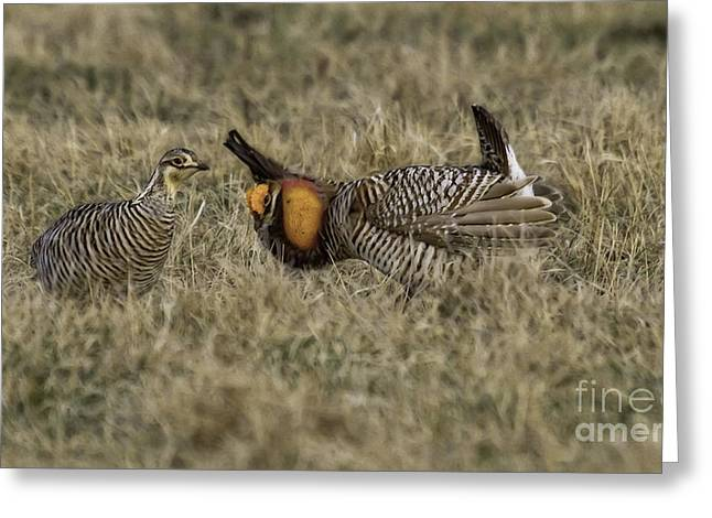 Courtship Greeting Card by Jan Killian