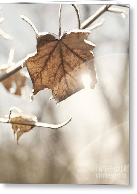 Flare-up Greeting Cards - Covered with ice maple leafe on a sunny day Greeting Card by Oleksiy Maksymenko