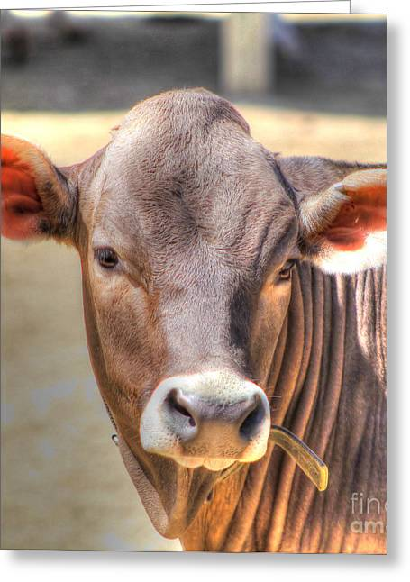 Cows Framed Prints Greeting Cards - Cow 1 Greeting Card by Jimmy Ostgard