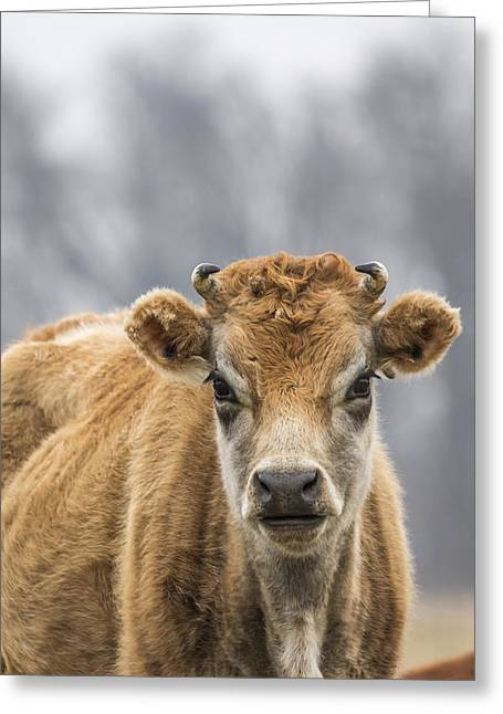 Jersey Cow Greeting Cards - Cow 1 Greeting Card by Thomas Young
