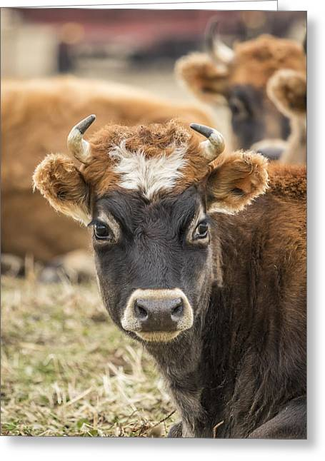 Jersey Cow Greeting Cards - Cow 2 Greeting Card by Thomas Young