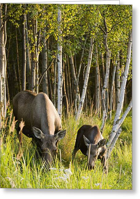 Tony Knowles Coastal Trail Greeting Cards - Cow And Calf Moose Feeding Along The Greeting Card by Kevin Smith