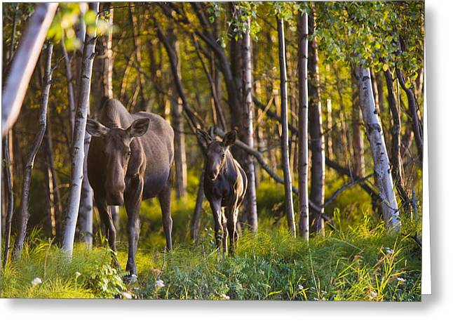 Tony Knowles Coastal Trail Greeting Cards - Cow And Calf Moose In Birch Forest Greeting Card by Kevin Smith