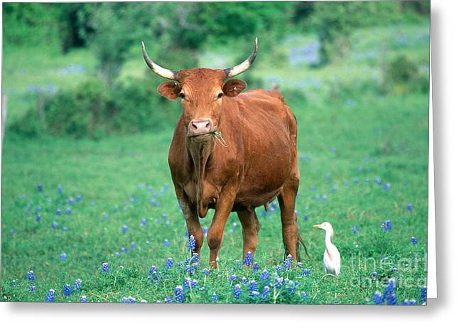 Mixed Species Greeting Cards - Cow And Cattle Egret Greeting Card by Alan and Sandy Carey