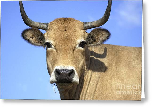 The Plateaus Greeting Cards - Cow Aubrac Greeting Card by Bernard Jaubert