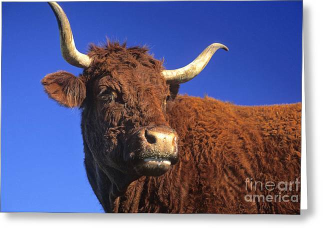 Cattle Farming Greeting Cards - Cow Greeting Card by Bernard Jaubert