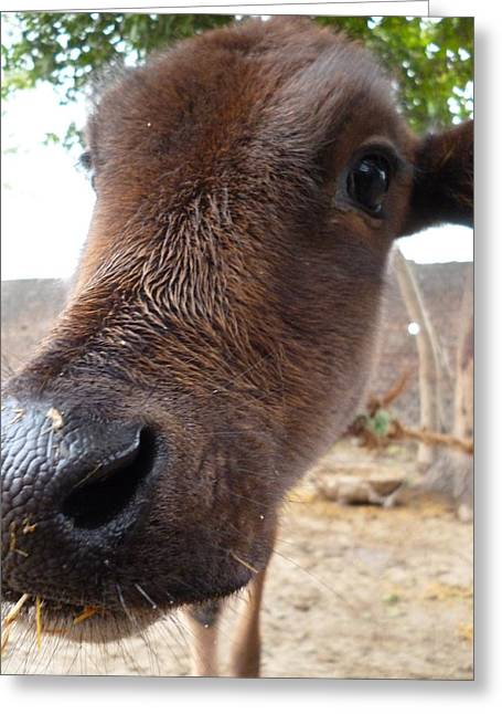 Abhinav Krishna Dwivedi Greeting Cards - Cow Closeup Greeting Card by Abhinav Krishna Dwivedi