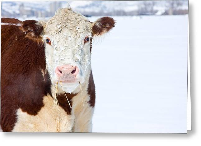 Cow - Fine Art Photography Print Greeting Card by James BO  Insogna