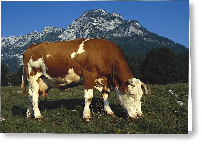 Cow Images Photographs Greeting Cards - Cow Grazing In Field Bavaria Greeting Card by Heidi & Hans-Juergen Koch