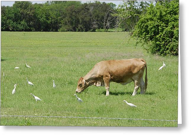 Pastureland Greeting Cards - Cow Grazing With Egret Greeting Card by Charles Beeler