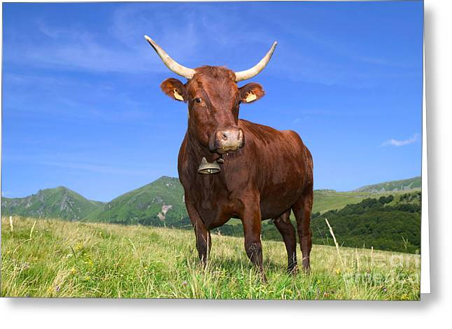 One Cow Greeting Cards - Cow In A Meadow Greeting Card by Christen/Okapia