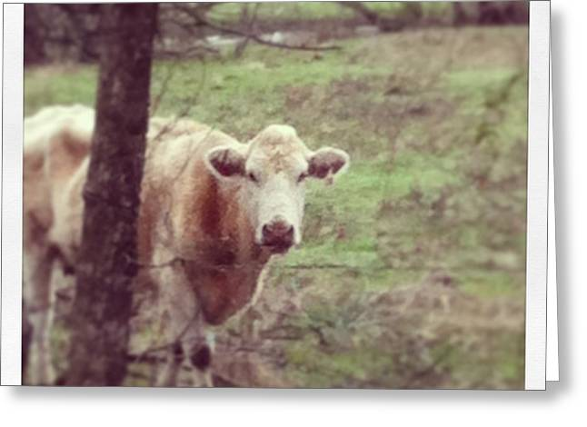 Kristin Smith Greeting Cards - Cow Greeting Card by Kristin Smith