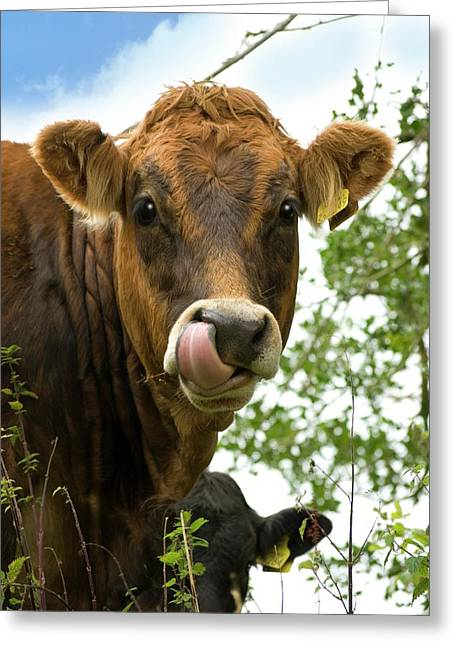 Cow Licking Its Nose Greeting Card by David Aubrey