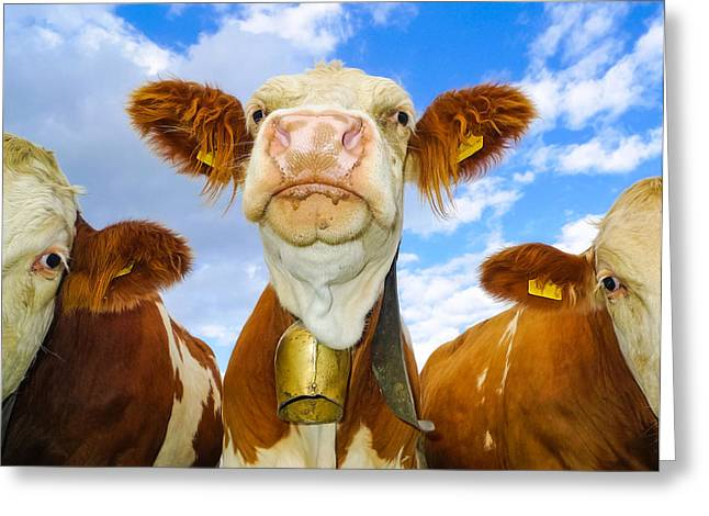 Three Cows Greeting Cards - Cow looking at you - funny animal picture Greeting Card by Matthias Hauser