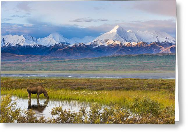 Parks And Wildlife Greeting Cards - Cow Moose Feeding In Small Pond Below Greeting Card by Michael DeYoung