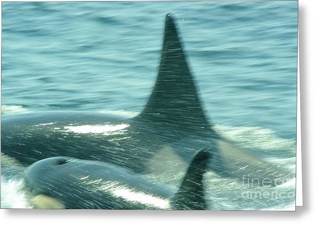 Juan De Fuca Greeting Cards - Cow Orca And Her Calf Greeting Card by Jeff  Swan