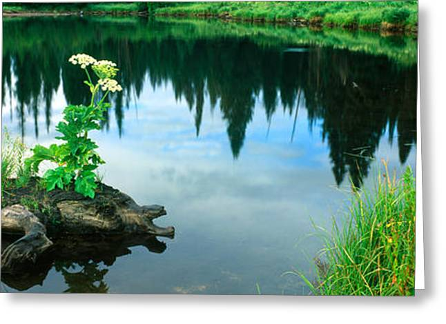 Pond In Park Greeting Cards - Cow Parsnip Heracleum Maximum Flowers Greeting Card by Panoramic Images