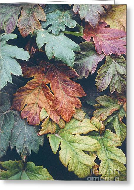 Cow Parsnip Leaves In The Fall Greeting Card by Bruce M Herman
