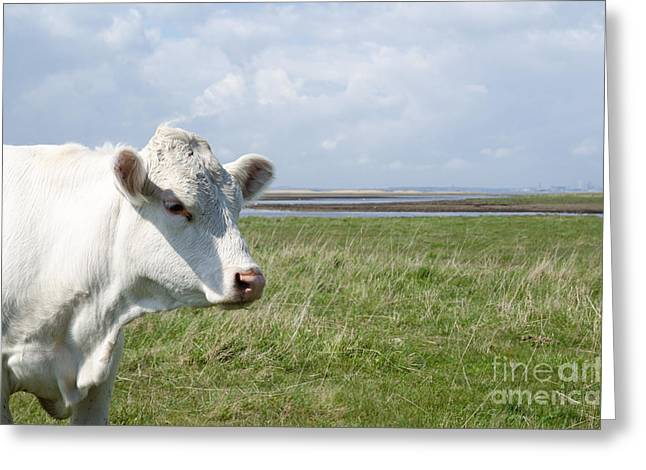 Pastureland Greeting Cards - Cow Portrait Greeting Card by Kennerth and Birgitta Kullman