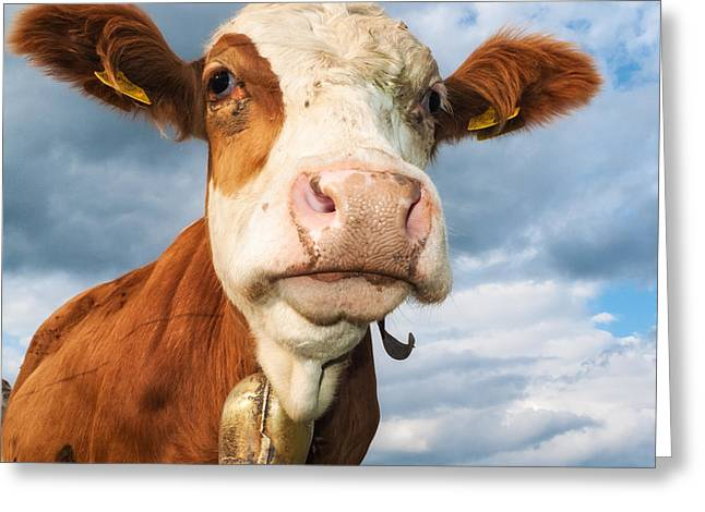 One Cow Greeting Cards - Cow portrait Greeting Card by Matthias Hauser