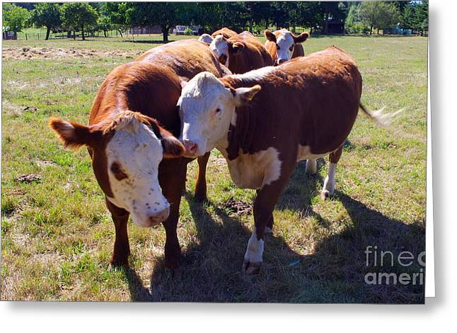Happy Acres Farm Greeting Cards - Cow Snuggles Greeting Card by Erin Baxter
