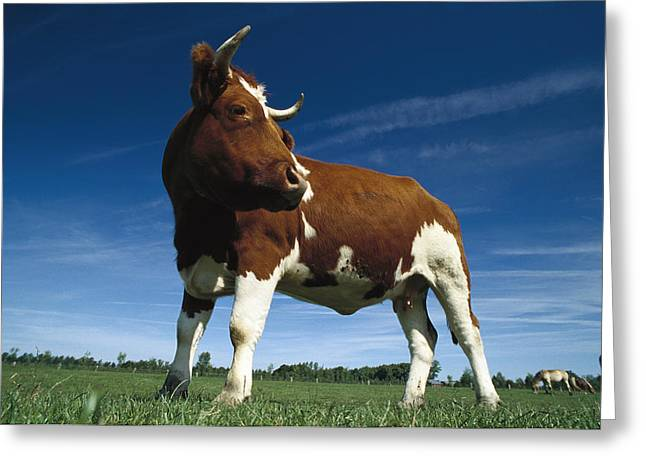 Cow Images Photographs Greeting Cards - Cow Standing In Field Germany Greeting Card by Heidi & Hans-Juergen Koch