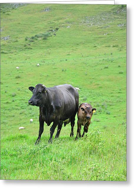Cow With Calf On Thorpe Hillside Greeting Card by Rod Johnson