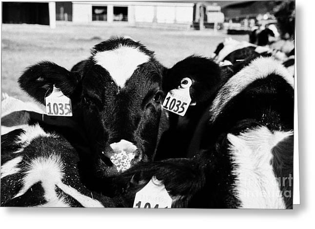 Ear Tags Greeting Cards - cow with ear tags beef cattle herd saskatoon Saskatchewan Canada Greeting Card by Joe Fox