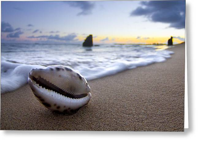 Sea Shell Greeting Cards - Cowrie Sunrise Greeting Card by Sean Davey