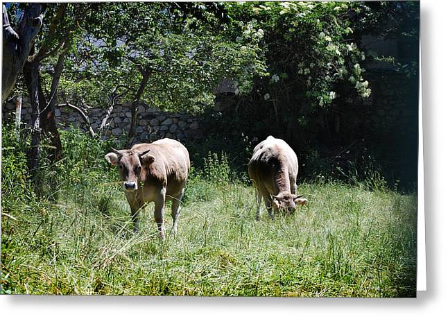 Moo Moo Greeting Cards - Cows Greeting Card by Gina Dsgn