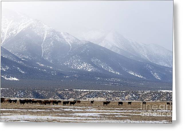 Grazing Snow Greeting Cards - Cows Grazing Below Antero Mountain Colorado Greeting Card by Janice Rae Pariza