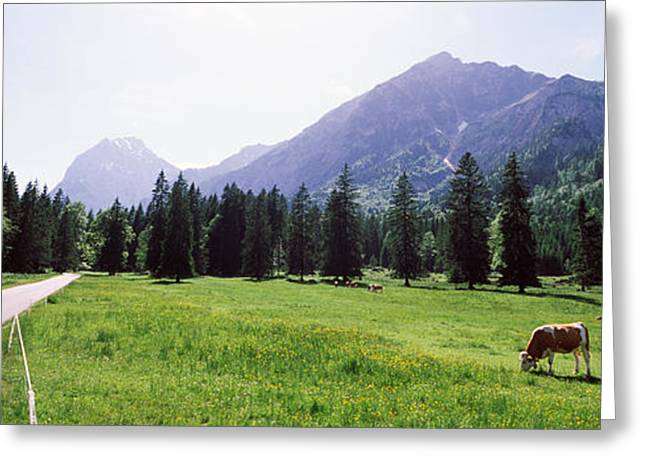 Cow Images Greeting Cards - Cows Grazing In A Field, Karwendel Greeting Card by Panoramic Images