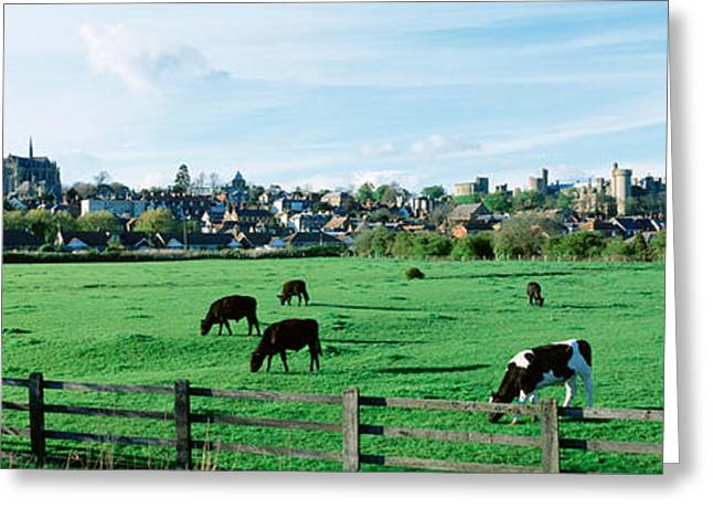 Medium Group Of Animals Greeting Cards - Cows Grazing In A Field With A City Greeting Card by Panoramic Images
